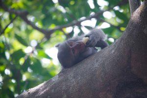 En apa äter frukt